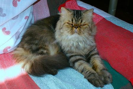test de gatos - razas de gatos con fotos - persa