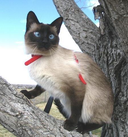 test de gatos - razas de gatos con fotos - siames