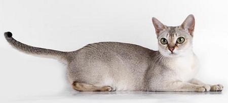 test de gatos - razas de gatos con fotos - singapura