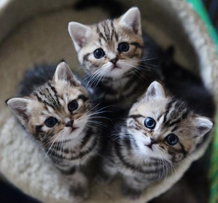 test de gatos - razas de gatos con fotos - british shorthair