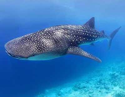 test cuanto sabes del mundo animal - imagen tiburon ballena